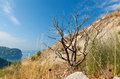 вry tree on the coastal cliff in montenegro dead dry Royalty Free Stock Photography