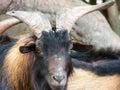 го ова козы Стоковое Изображение RF