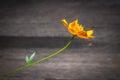 же тый цветок космоса на  ревообразной пре посы ке Стоковое Фото