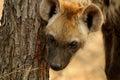 запятнанный hyena crocuta Стоковая Фотография