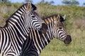 зебра burchell burchellii квагги equus Стоковые Изображения RF