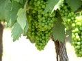 зе еные виногра ины Стоковое фото RF