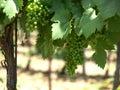 зе еные виногра ины Стоковое Фото