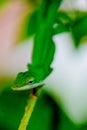 зе еные гекконовые на ветви Стоковое Изображение RF