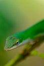 зе еные гекконовые на ветви Стоковые Фотографии RF