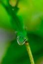 зе еные гекконовые на ветви Стоковая Фотография