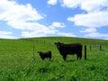 икра angus черная cow она Стоковые Изображения