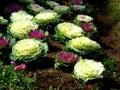 капуста в doiinthanon Стоковая Фотография RF