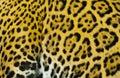 конец вверх сня шерсти ягуара behing пере няя нога Стоковые Фотографии RF