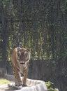 конец тигра бенга ии вверх Стоковая Фотография RF
