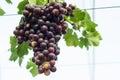 красная виногра ина Стоковое Изображение