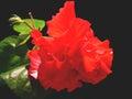 красное chaba Стоковая Фотография