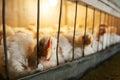 курицы в к етке Стоковое Изображение RF