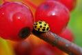 макрос черепашки  амы жука Стоковая Фотография RF