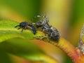 паук рыся и нимфа ladybug Стоковое фото RF