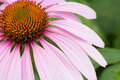 пинк цветка конуса Стоковые Изображения RF
