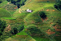 Поля риса Стоковые Фото