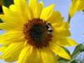 пчела путает солнцецвет Стоковые Изображения RF