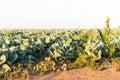 расти капусты Стоковые Фото