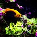 рыбы анге а Стоковые Изображения RF