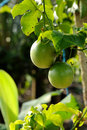 Свежий плодоовощ страсти Стоковые Фото