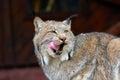 Североамериканский Lynx Стоковая Фотография RF