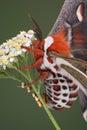 сумеречница класть яичек cecropia Стоковые Изображения