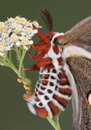 сумеречница класть яичка cecropia Стоковые Фото
