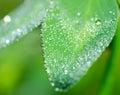 сlover fresco fiorisce il fiore con le gocce di rugiada Immagini Stock