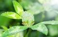 сlover fresco florece el flor con descensos del rocío Imagenes de archivo
