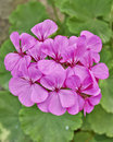 темный розовый крупный п ан пука гераниума Стоковые Фото