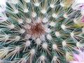 терновый кактус Стоковые Фотографии RF