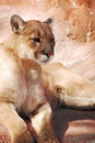 image photo : Cougar on Rock