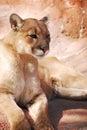 image photo : Cougar on Rock