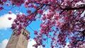 цветение сакуры Стоковые Фотографии RF