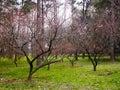 Цветение японской сливы Стоковые Фото