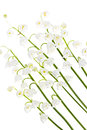 Цветки Lily-of-the-valley на белизне Стоковые Фотографии RF