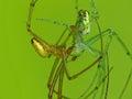 це овать пауков Стоковая Фотография
