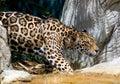 ягуар 12 Стоковые Изображения RF