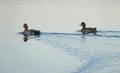 两只鸭子漂浮了在河下 风景北 免版税图库摄影