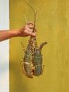 两只龙虾 图库摄影