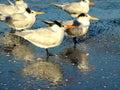 佛罗里达矶鹞鸟 免版税库存照片