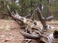 停止的杉木 免版税库存照片