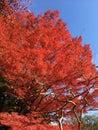 充? ?? 力的红色日本秋天叶子 免版税图库摄影
