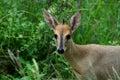 共同的小羚羊, sylvicapra grimmia 免版税库存图片