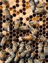 动蜂房 工作者和蜂后在蜂房里面 库存照片