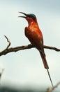 南部的胭脂红食蜂鸟 食蜂鸟属nubicoides 免版税库存照片