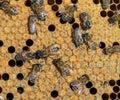 变形的被密封的 胞,里面蜂箱 一只新的蜂emer 库存照片