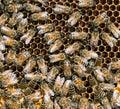 喜欢  的在蜂房, 节的  人的蜂 库存图片