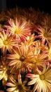 在星期一早晨妈咪的菊花 免版税库存照片